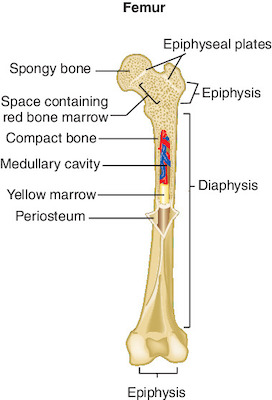 humerus definition medical dictionary